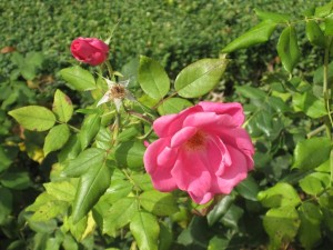 Rodin Rose klein
