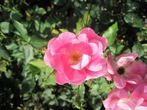 Rodin Rose mehere Blüten klein